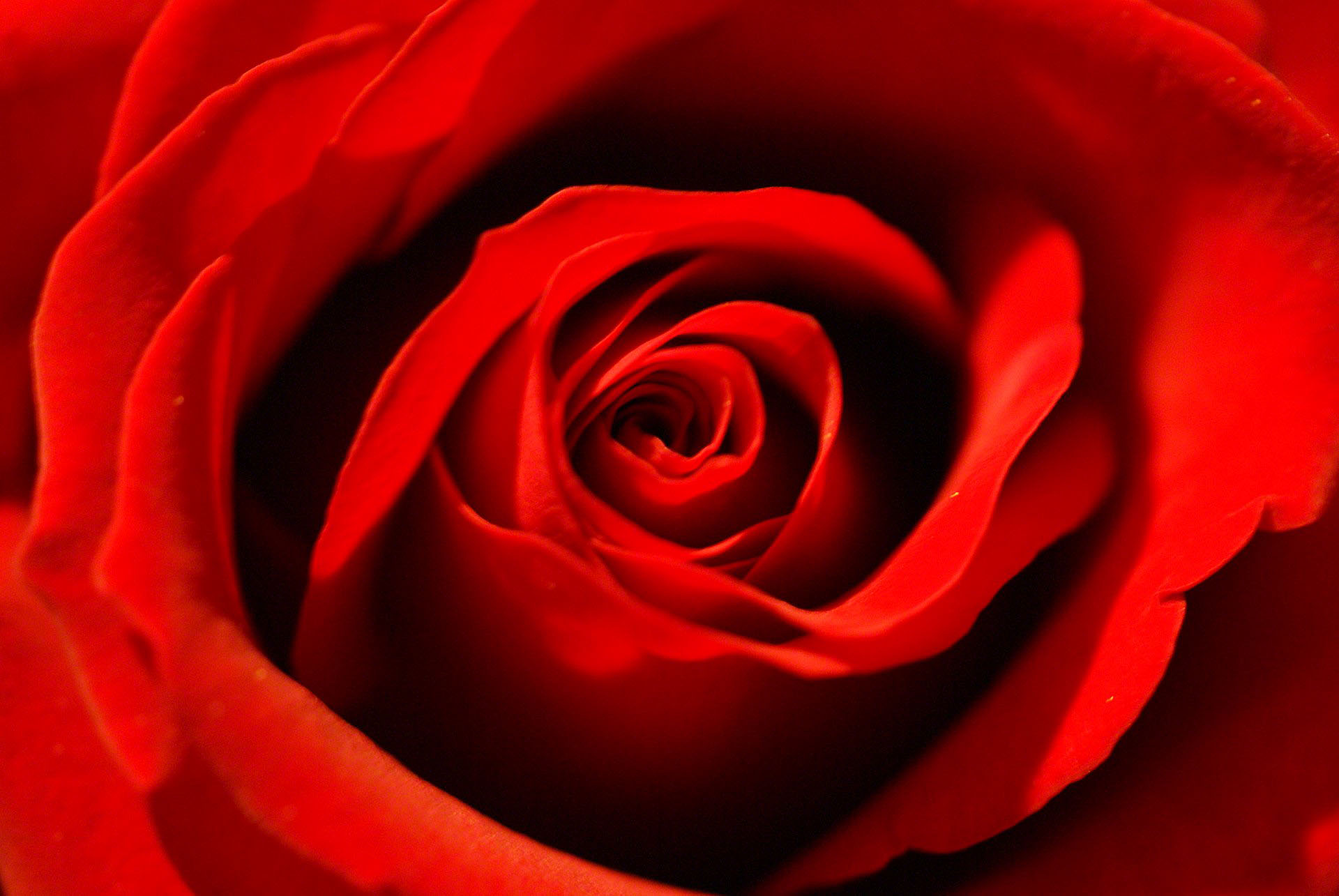 Red Rose Wallpaper