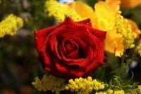 rosa roja con espumoso de agua