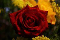 rosa roja con espumosos waterdrops