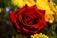 rosa roja con waterdrops