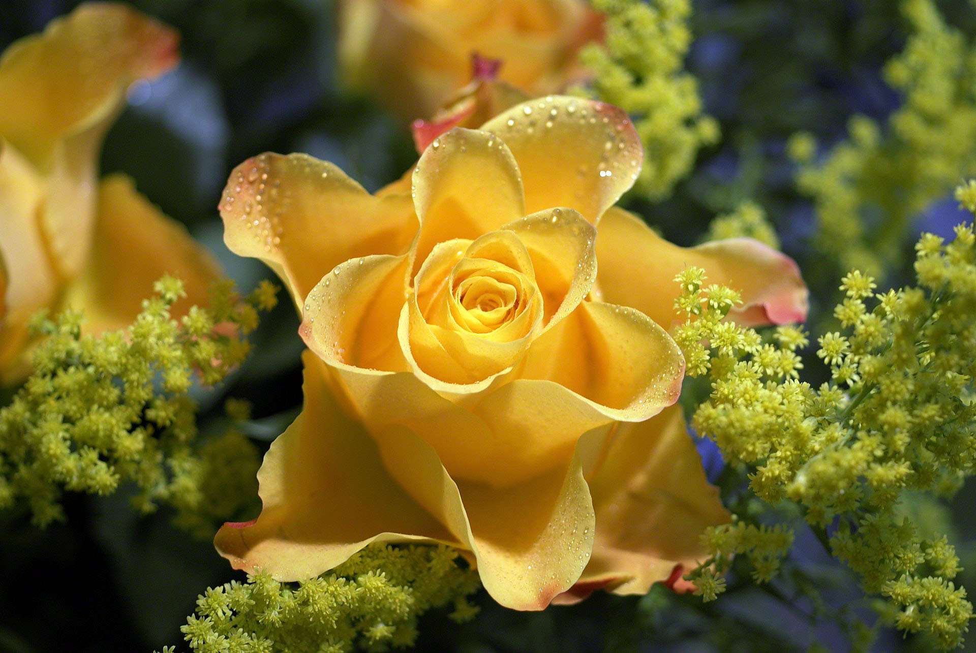 yellow rose with waterdrops
