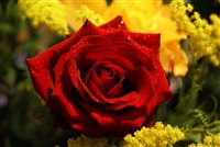 rosa roja con ducha waterdrops
