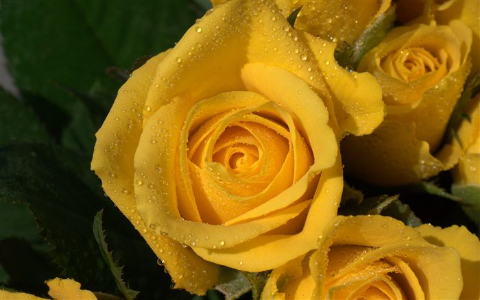 yellow rose macro