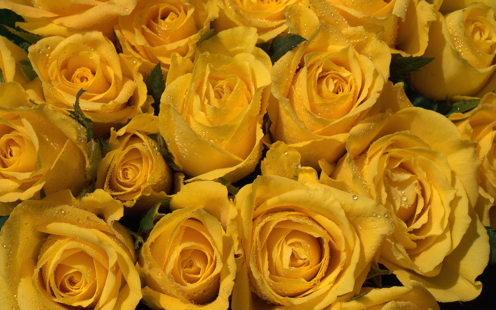 Yellow roses photo