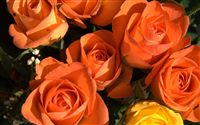 Orange roses wallpaper