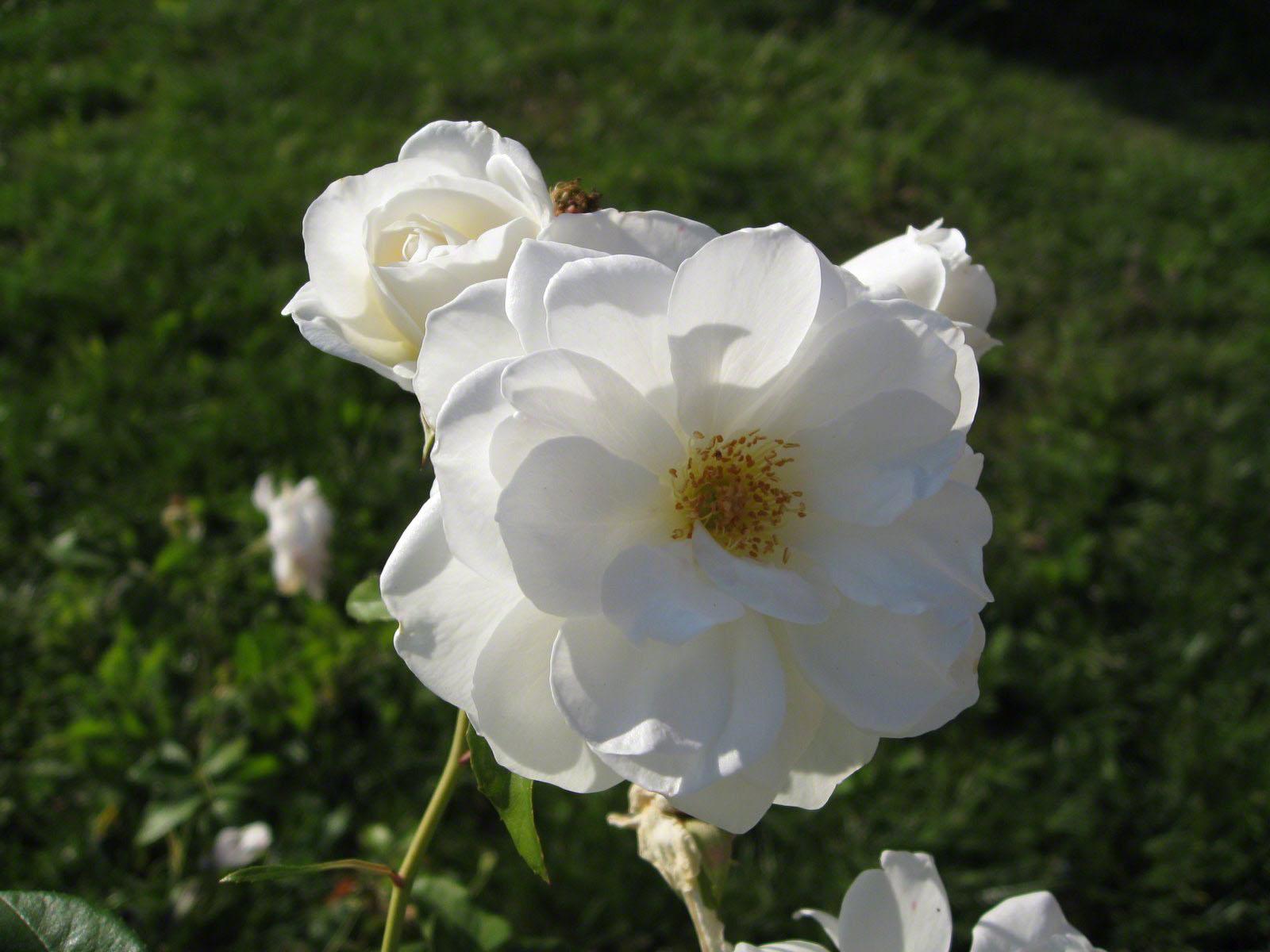 http://www.fabiovisentin.com/photography/photo/12/roses-wallpaper-roses-bouquets4363.JPG