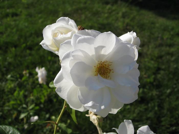 Wild Roses White