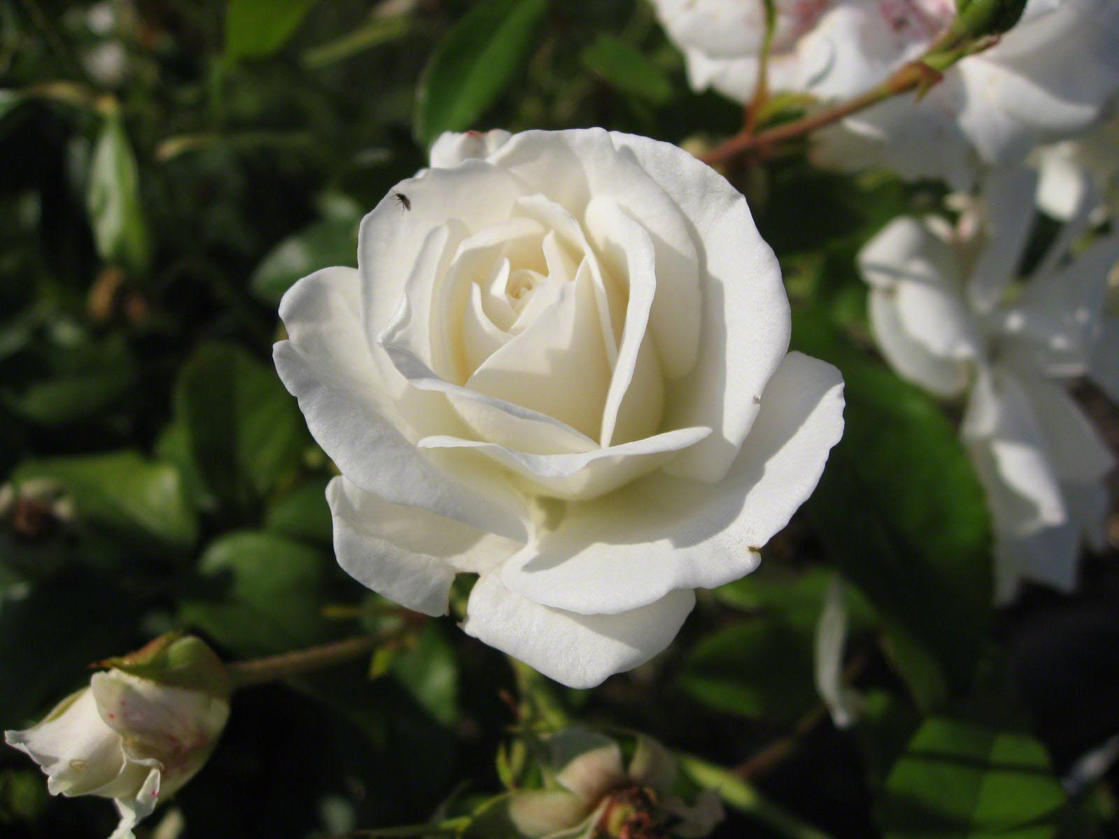 http://www.fabiovisentin.com/photography/photo/12/roses-wallpaper-roses-bouquets4366.JPG