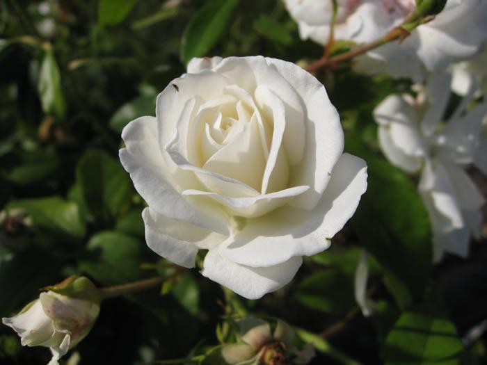 Wild Rose White