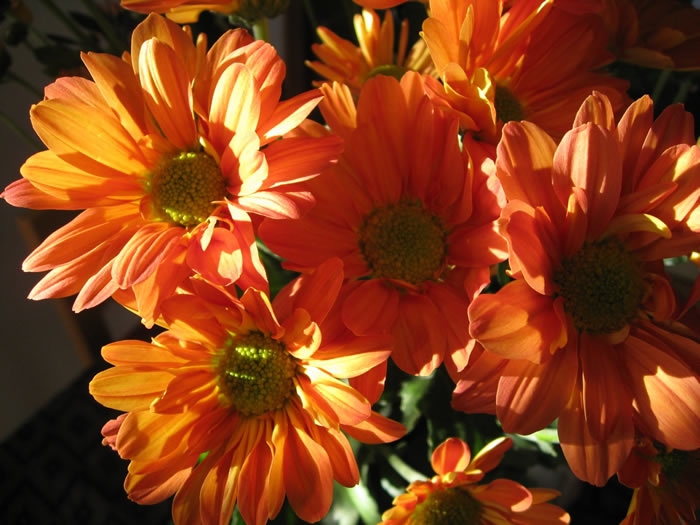 Orange Chrysanthemums  Wallpaper Bouquet