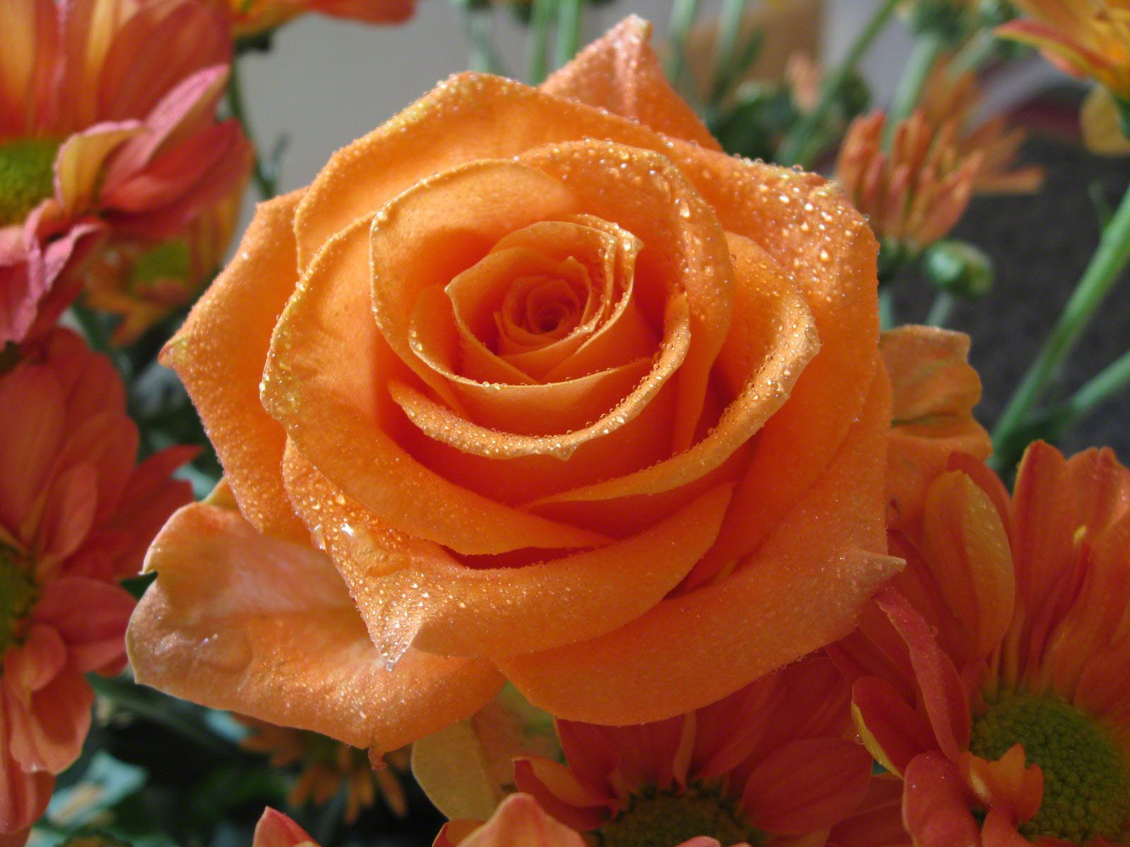 History and Meaning of Orange Roses 1