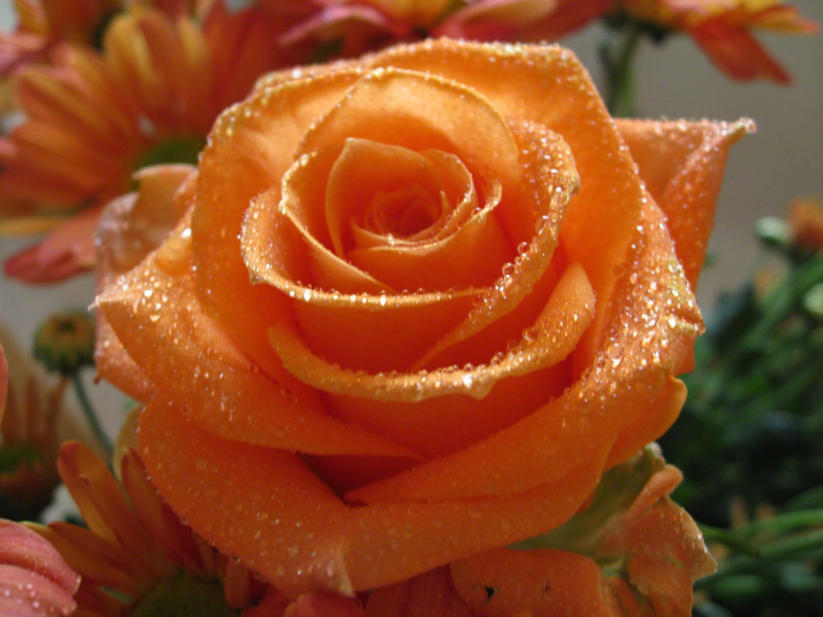 Orange Rose Photos And Wallpapers