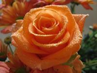 rosas anaranjado Macro flor