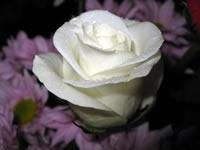 Rosa blanca de papel tapiz macro
