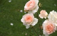 salmon roses wallpaper