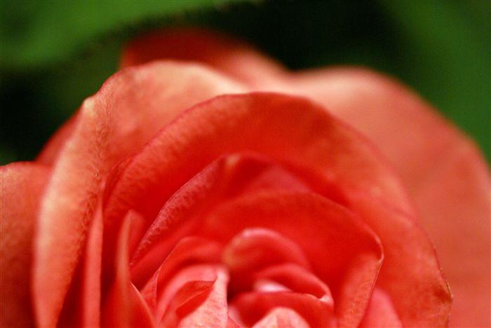 Soft Macro Rose