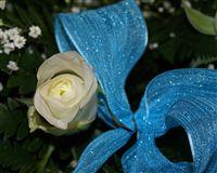 bella rosa blanca