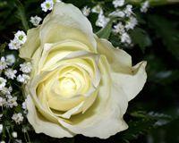 Macro Rosa Blanca