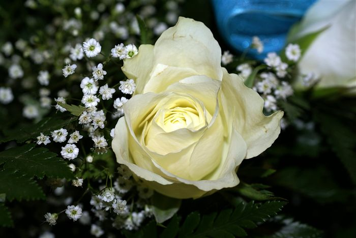most beautiful White rose