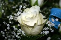 Macro beautiful White rose