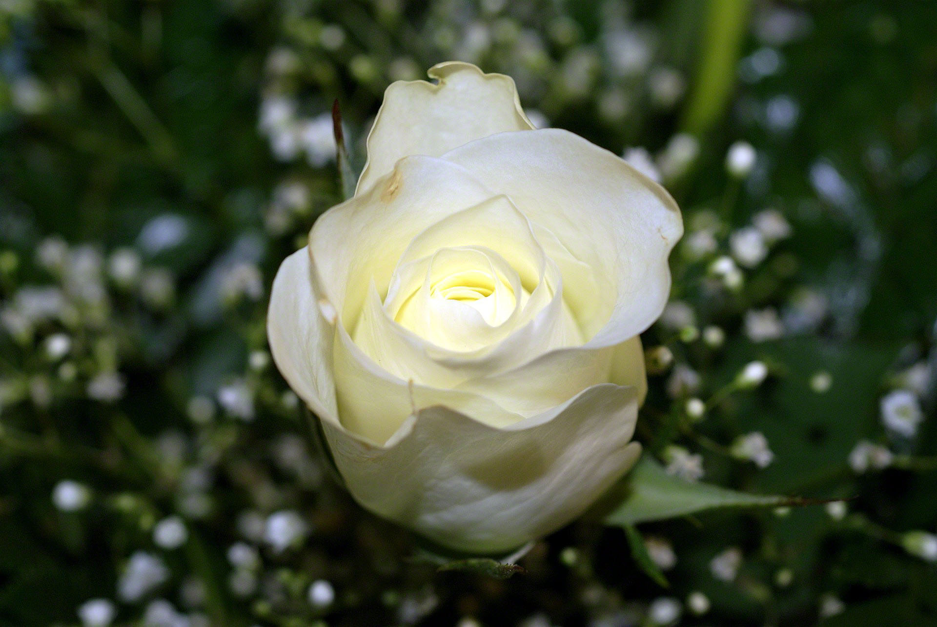 http://www.fabiovisentin.com/photography/photo/12/white-rose-bouquet-0267616.jpg