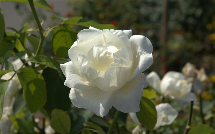 White rose photo