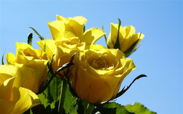 Yellow roses close up photo