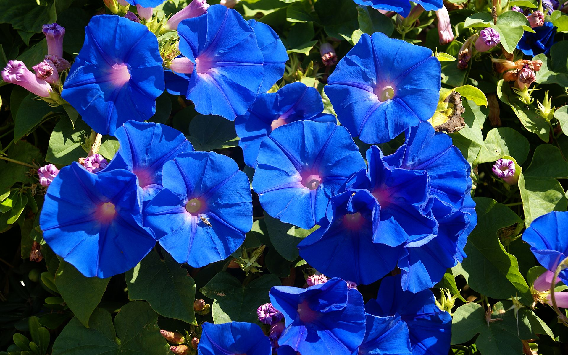 list of blue flowers  flower, Beautiful flower