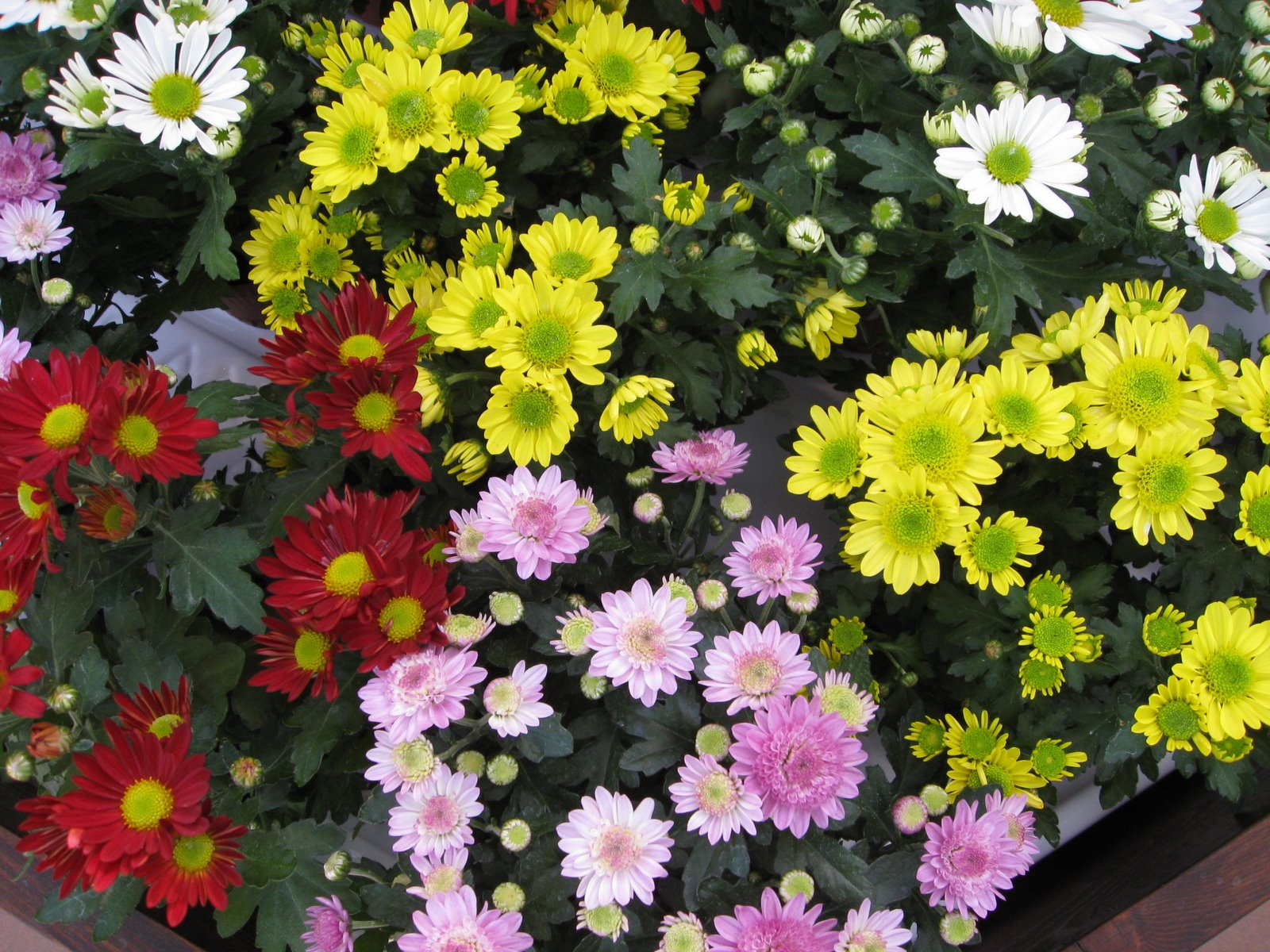 Chrysanthemums, The - Live At The London Palladium!