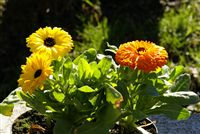 Pot Marigolds Calendula Officinalis