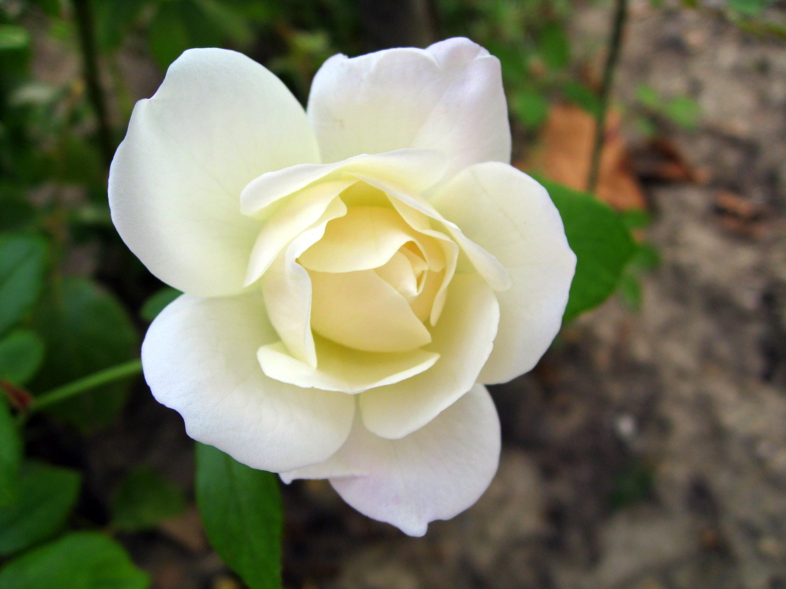 Flower photos flower photos high resolution flowers p most beautiful white rose dhlflorist Choice Image