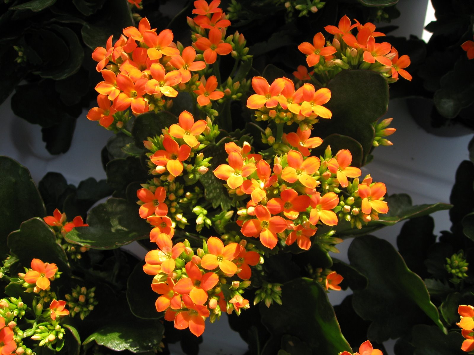 Kalanchoe blossfeldiana is a nice plant of Crassulacee family.