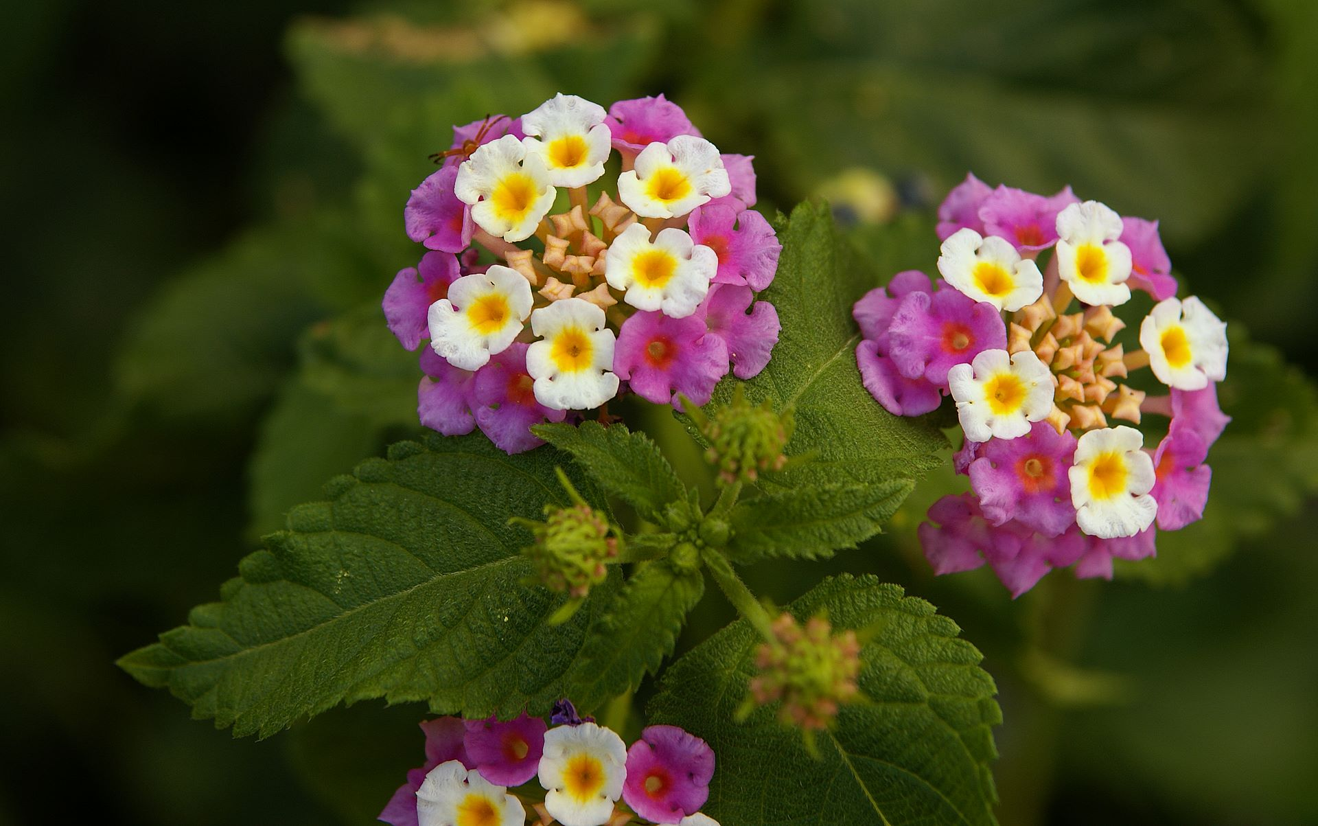 http://www.fabiovisentin.com/photography/photo/13/lantana-flowers-wallpaper-dsc01629.jpg