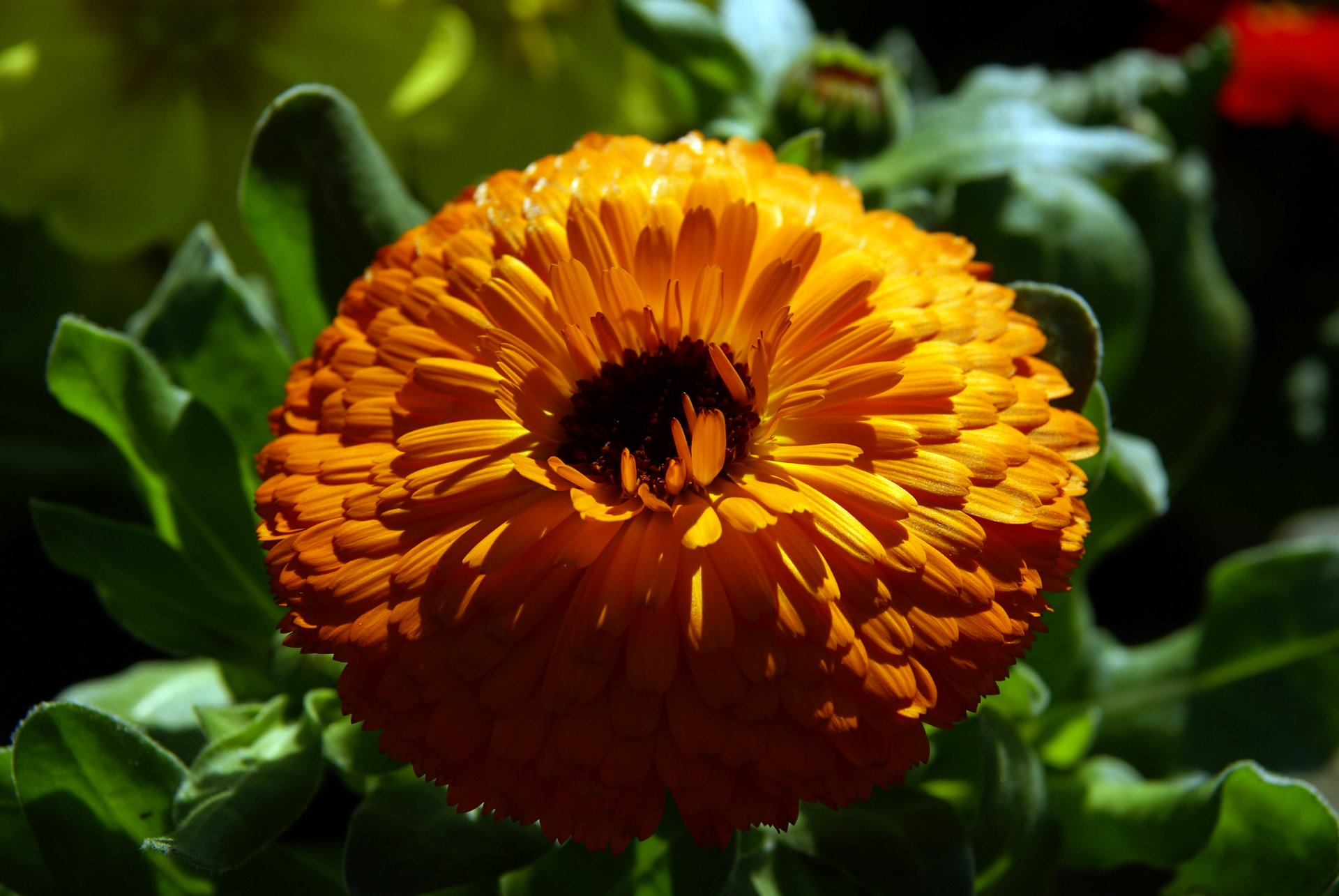 orange pot marigold high resolution