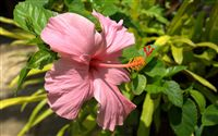 pink hibiscus close up