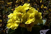 yellow primorose - primula
