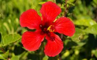 Red hibiscus wallpaper
