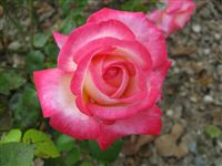Most beautiful Rose