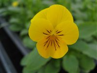 Viola Pansee Yellow