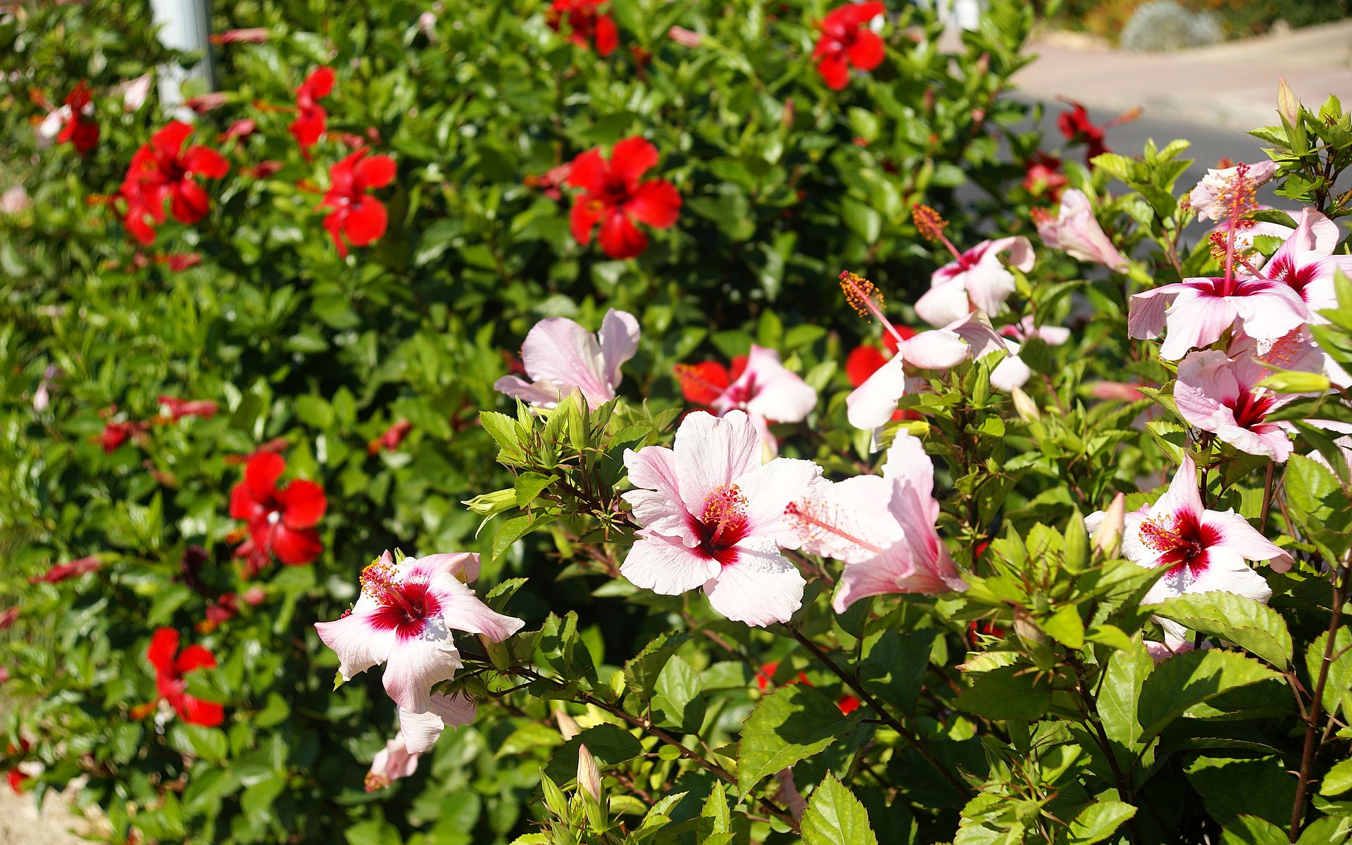 Hibiscus white and red for Arbustos de jardin