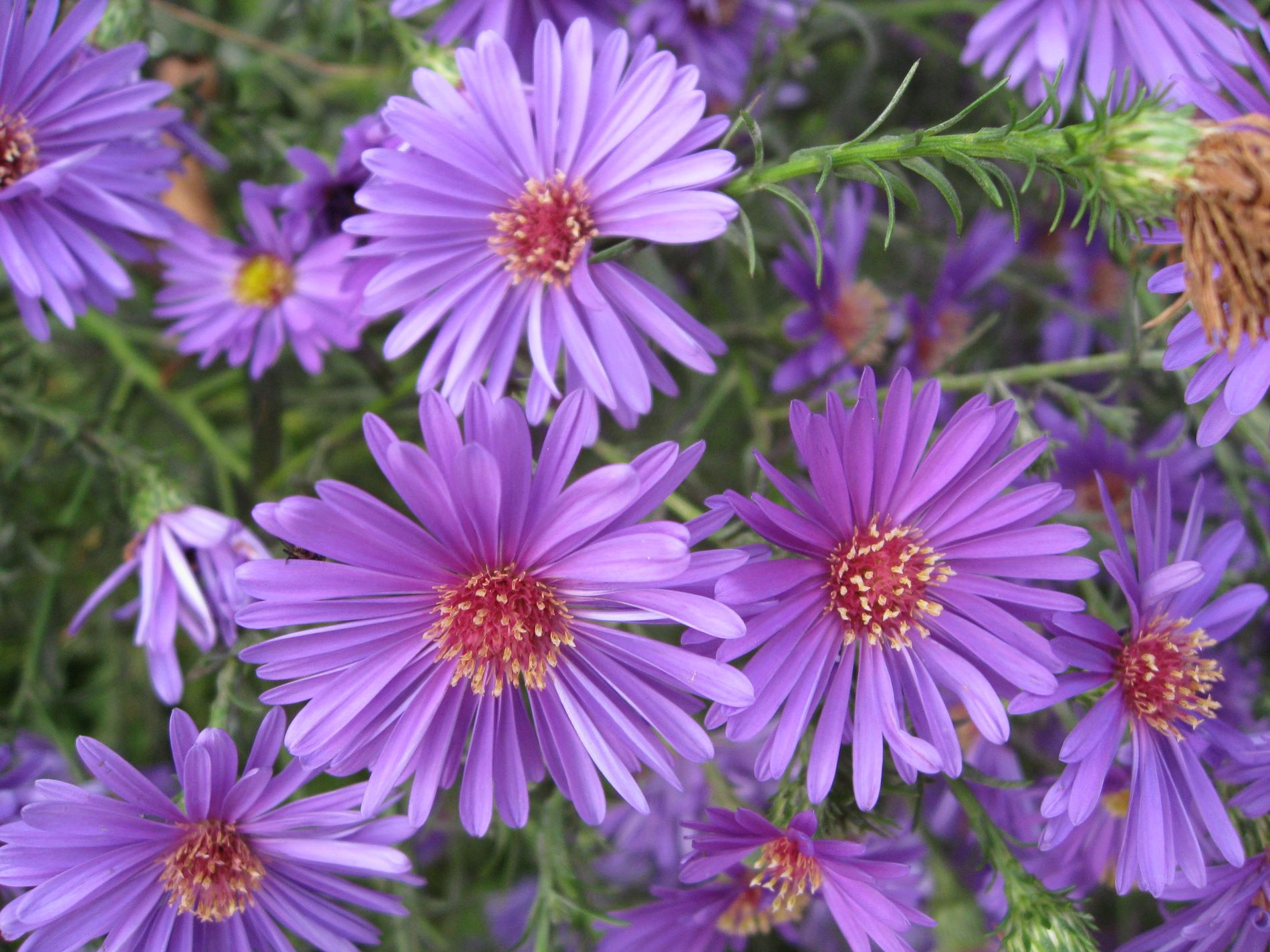 Aster Picture