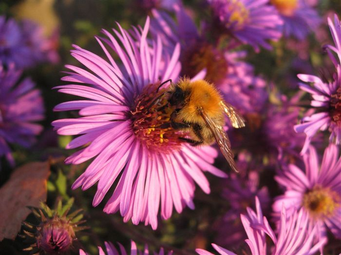 Aster Alpinus with Bumble Bee Macro