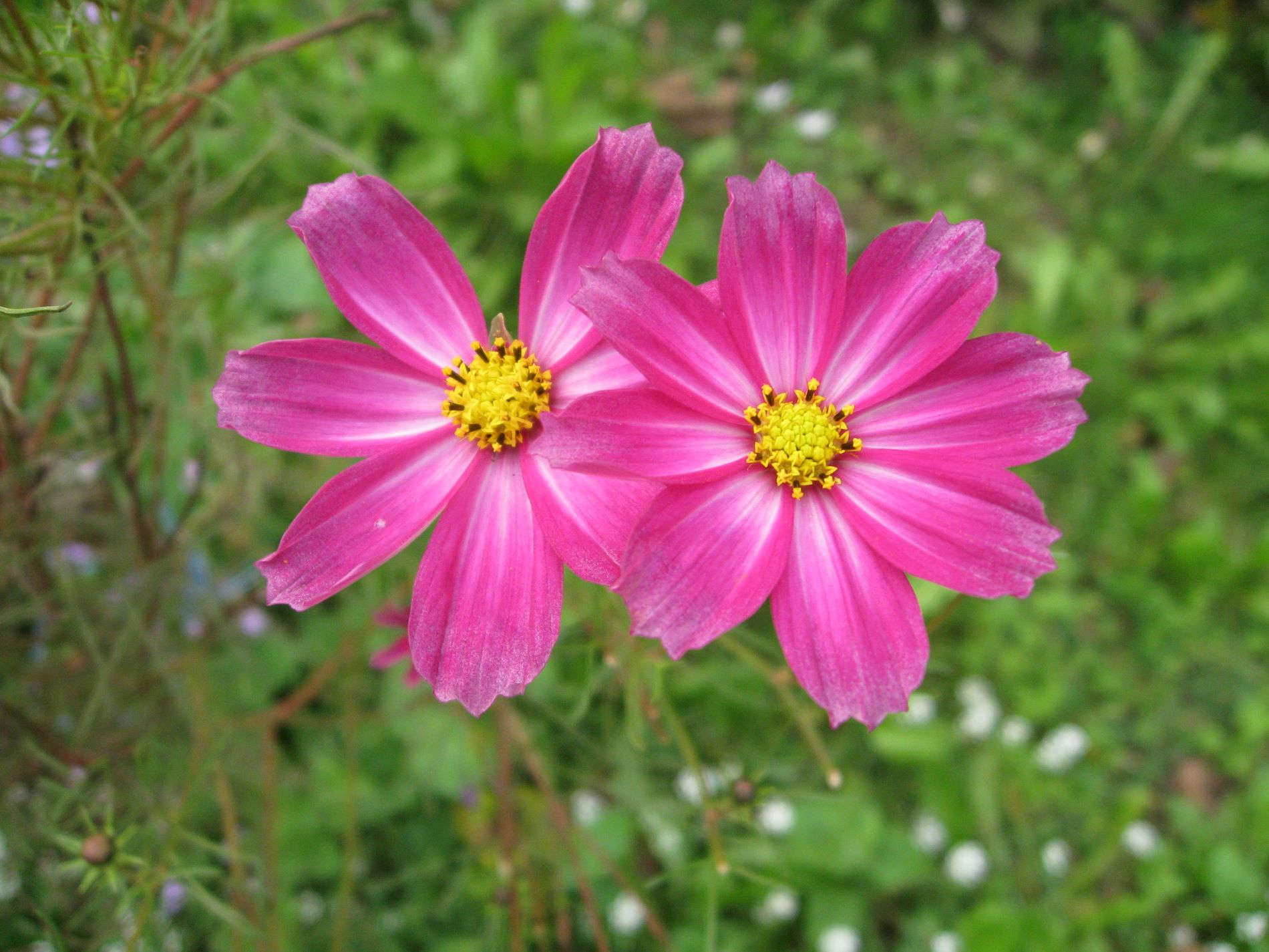 Valentine Flowers - Aster Flowers 5