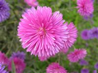 China Aster (callistephus chinensis)