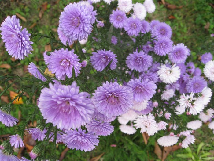 Violet and white Aster (callistephus chinensis)