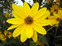 Ox-eye (Heliopsis helianthoides) photo