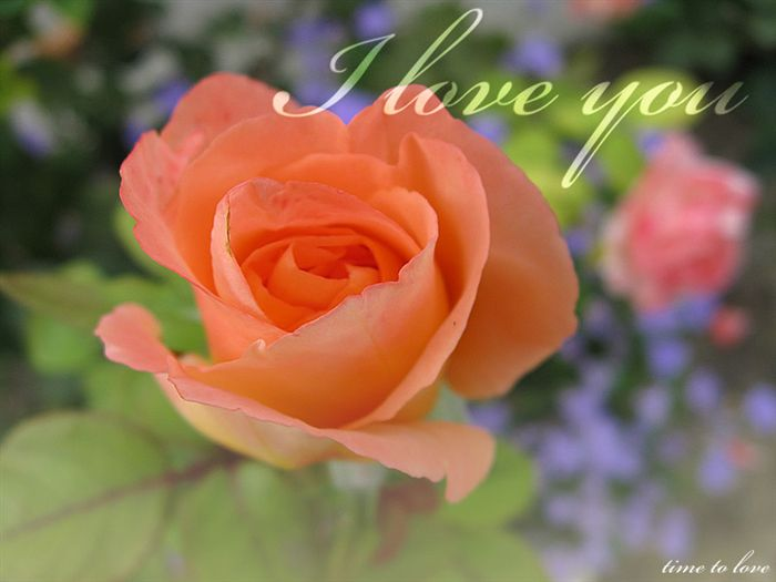 Love you Ecard peach rose