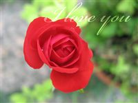 Love you Ecard small rose