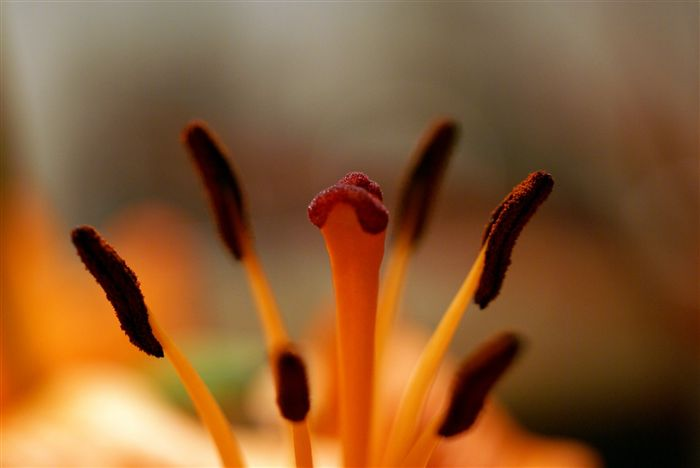 Lilium Pistil and Stamens
