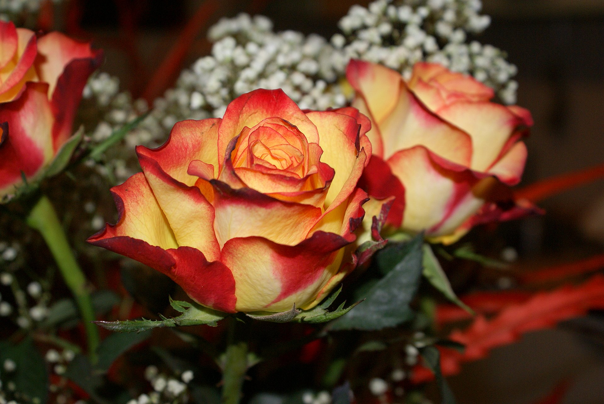 Bicolor Mutable Yellow To Red Rose